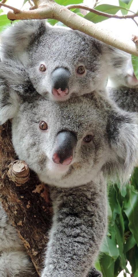 4087 best koalas images on pinterest koala bears koalas and baby koala - Pics of baby koalas ...