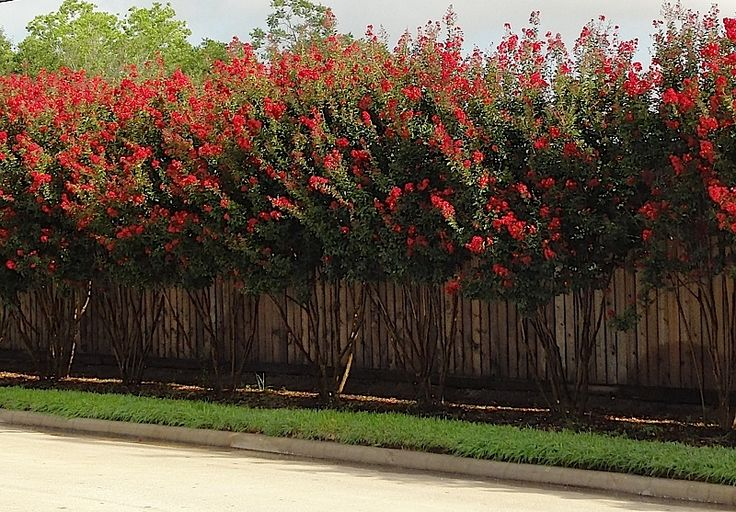 crepe myrtle red rocket - Google Search - This could be pretty.  I would ask him how messy it is when the blooms drop.