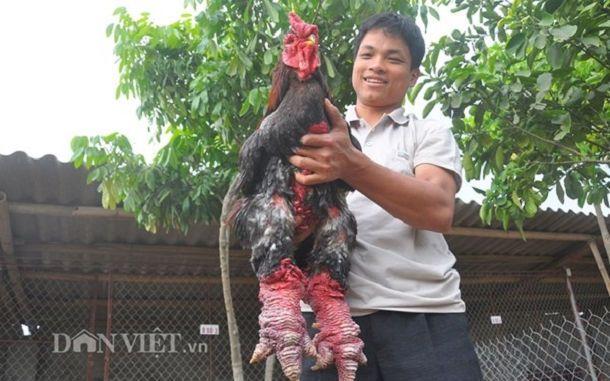 Mitad pollo mitad dragón, esto es lo que hemos pensado muchos al ver por primera vez a estos animales. El pollo Dong Tao es muy famoso en Vietnam, su país de origen. Su carne es tan cara como la ternera de Kobe