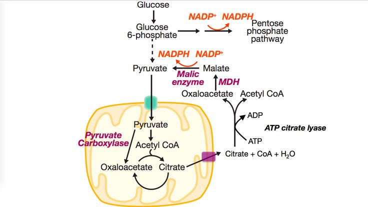 Citrate-oxaloacetate shuttle, used to create Acetyl-CoA outside of the mitochondria for the purposes of fatty acid synthesis. NADPH is also produced for the anabolic reaction catalyzed by the fatty acid synthase.