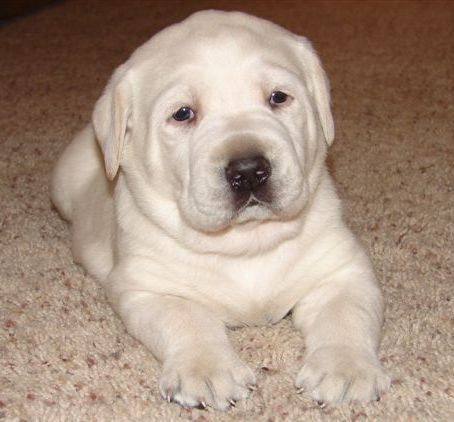 Loving lab puppies