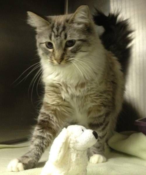 Chloe, an adopted cat through Austin Siamese Rescue