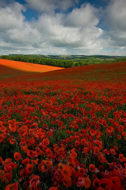 Poppies--East Sussex