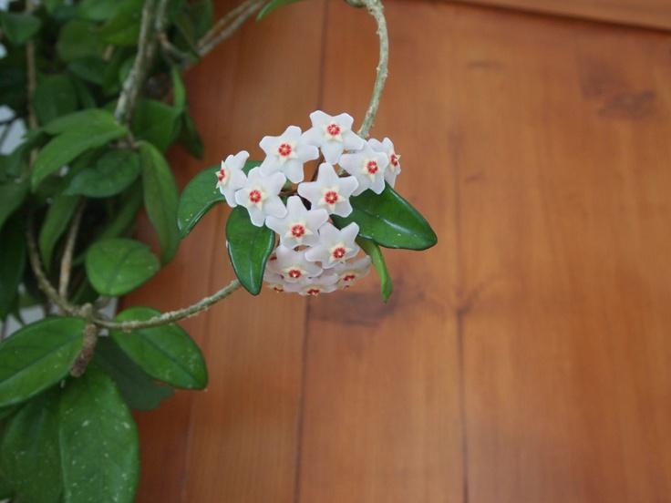 Hoya fiori di cera