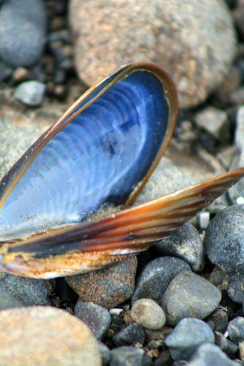 Blue mussel shell.