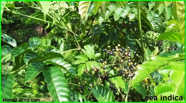 قائمة انواع فاكهة الليا Leea قائمة الفواكهة النبات معلومات نباتية وسمكية معلوماتية Plants Plant Leaves Leaves