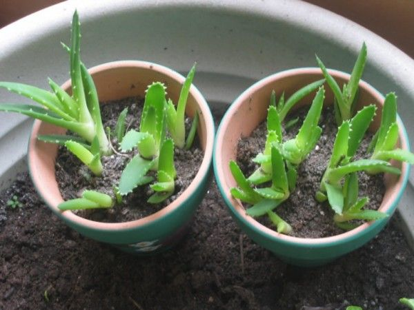 The aloe vera plant is very famous when it comes to the cosmetics department since it has many beautification properties that can bring health benefits [...]