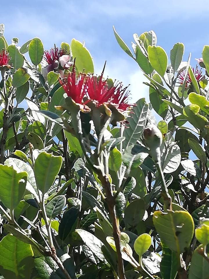 Pohutukawa Known As Nz Christmas Tree Whith His Big Red Flowers