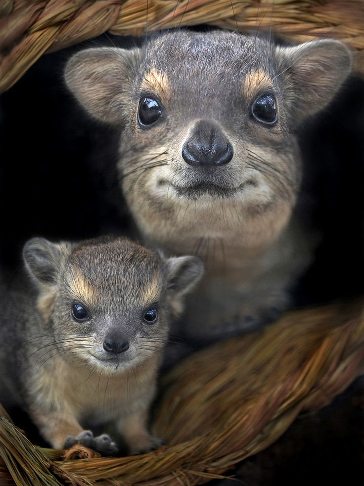 A week-old Small Toothed Hyrax and mother at the San Diego Zoo.  Small mammals, often mistaken as rodents, the hyrax is most closely related to the elephant and manatee.
