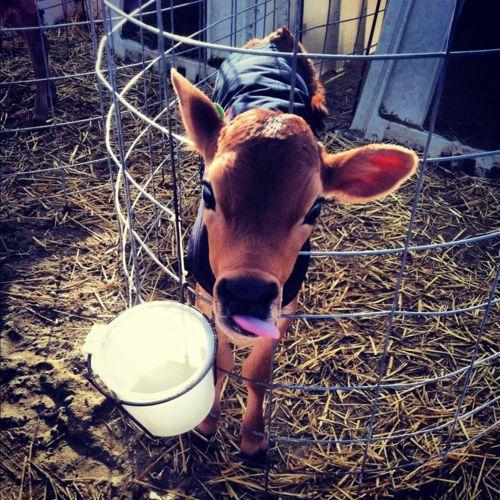 awwww: Farm Animals, Calf Farmer, Adorable Animals, Baby Calf, Baby Cowww, Farms Animals Lifestyle, Baby Cows, Cows Calfs, Baby Calves