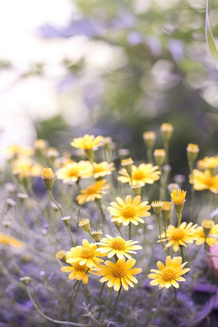 Pretty yellow daisies