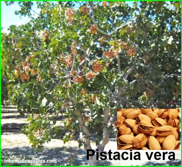 انواع الفستق او البطم Pistacia قائمة الخضار النبات معلومان عامه معلوماتية Crafts
