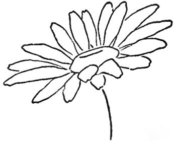 Step 08 daisies Drawing the Daisy : How to Draw Daisies with Easy Step by Step Lessons