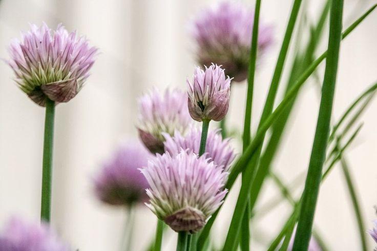 Blommorna från gräslök - så fina :-) Gräslök är perfekt för pallkrage   Flowers from chives, so beautiful!!