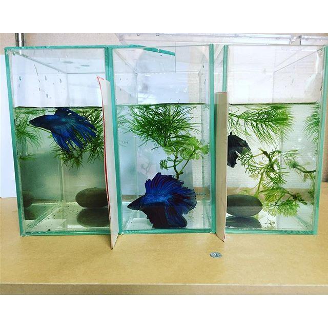 【g5r12r7】さんのInstagramをピンしています。 《水槽統一しました👏 これと同じ水槽がもう1つ余っている ということは、新しい子を買う余裕がある←  #ベタ #アクアリウム #やっとこさ #水槽統一 #ダブルテール #ドラゴンテール #クラウンテール #betafish #aquarium  #熱帯魚》