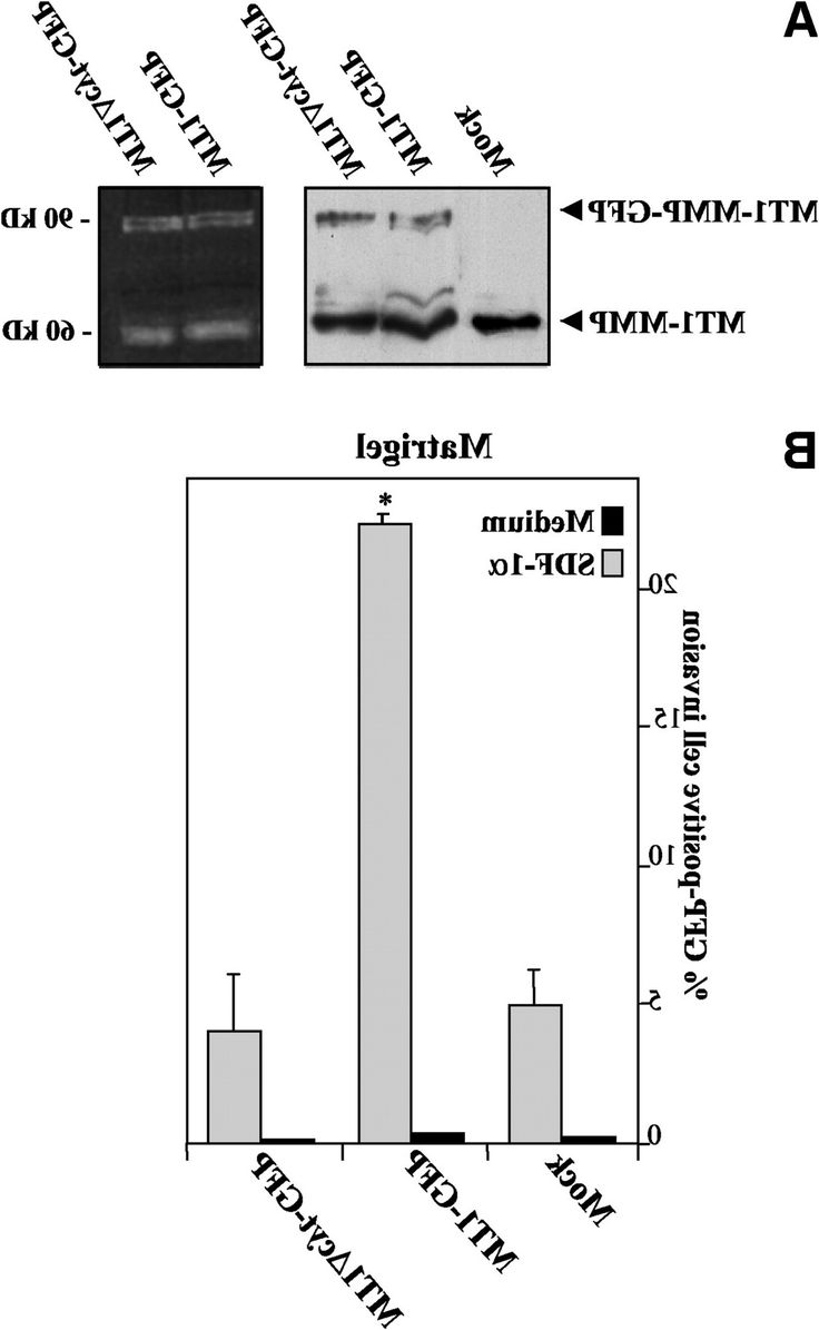 stromal cell derived factor 1Î promotes melanoma cell invasion from Bd Matrigel Basement Membrane Matrix