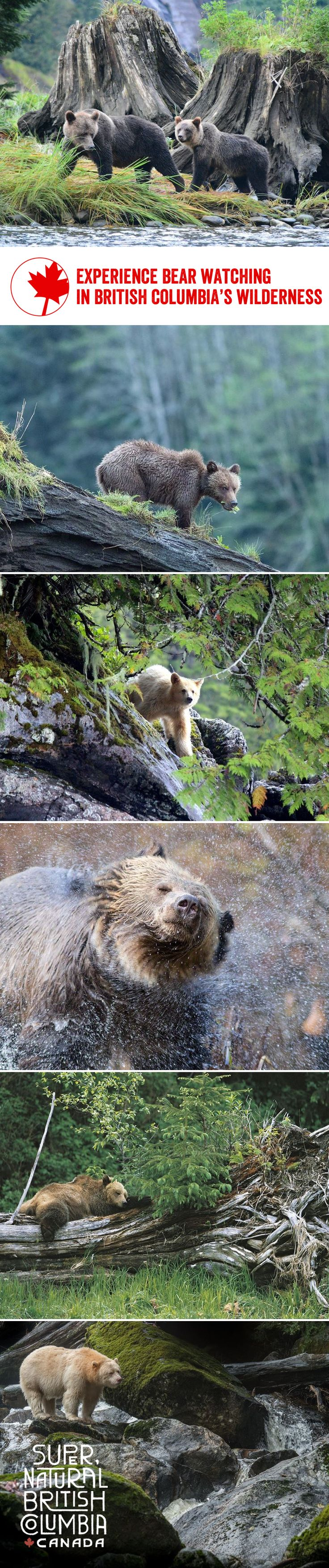 Seeing a majestic bear roaming its natural habitat is a moment you won't forget – and where better to see them than in British Columbia's stunning natural wilderness?