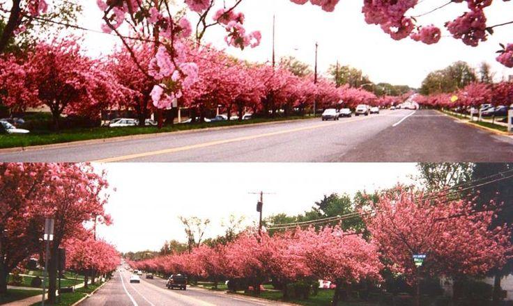 Cherry Blossoms in Cherry Hill, NJ