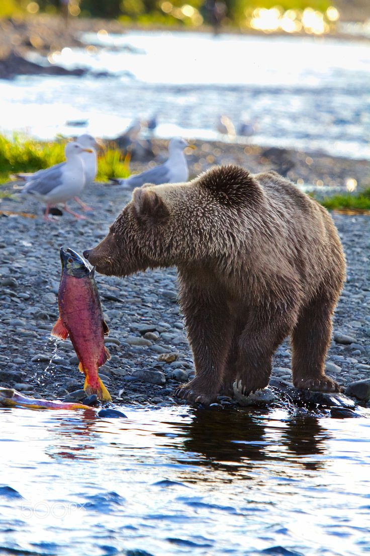 Montana Creek Bear - Taken in Alaska at Montana Creek