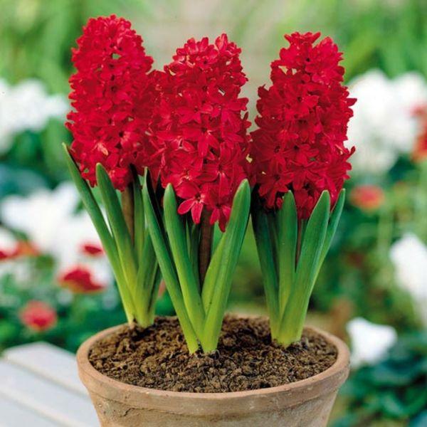 rot winterpflanzen blumenzwiebeln austreiben blüten