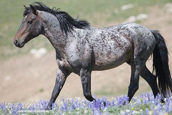 Custer in der Lupine Fine Art wilden Pferd Foto von WildHoofbeats
