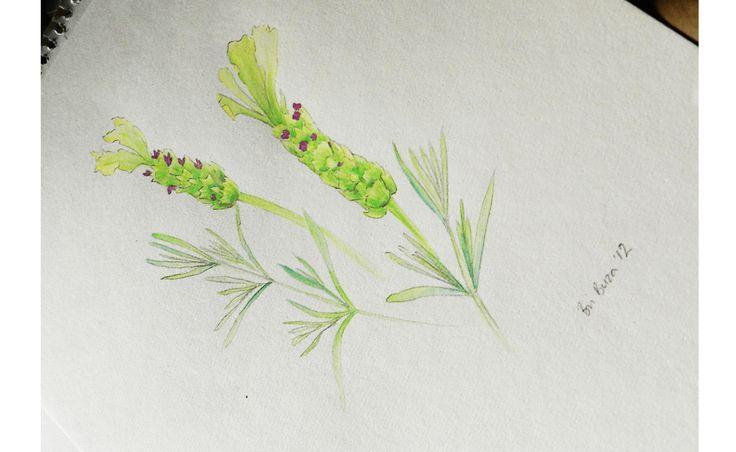 Lavender- pencil and watercolor by Brianna Buza