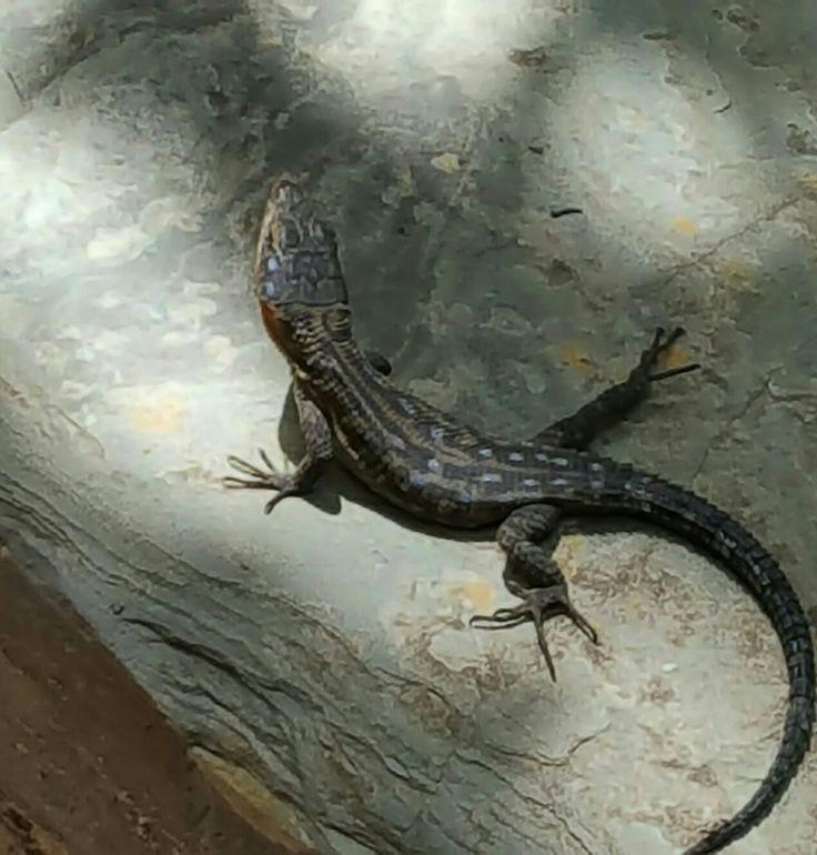 Lizard sun bathing