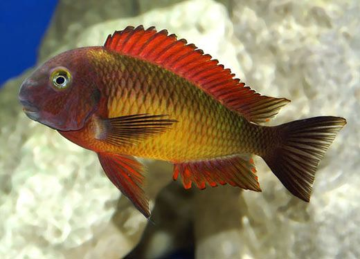115 best images about freshwater fish on pinterest for African cichlid fish