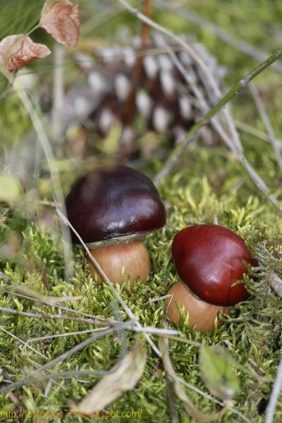 """""""Steinpilze"""" aus Eicheln und Kastanien für die DIY-Herbstdeko! Kinderleicht zu züchten, und sehen wirklich echt aus, oder?! Tolle Bastelidee auch für kleinere Kinder..."""
