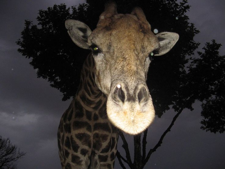 Bumped into this friendly giraffe in the Pilanesberg. It was just getting dark and she just walked up to the game vehicle and started licking the inside of the roof. Not sure what tasted so good.
