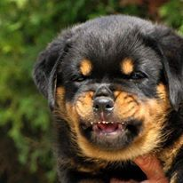 Angry rottweiler dog - photo#35
