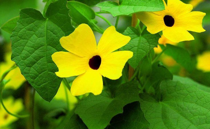 Die einjährige Schwarzäugige Susanne zeigt an warmen, windgeschützten Plätzen in voller Sonne bis in den Herbst hinein ihre leuchtenden Blüten. Die Aussaat der Kletterpflanze gelingt auch Gartenanfängern.