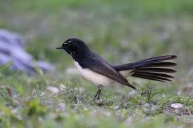 willy wagtail - Google Search