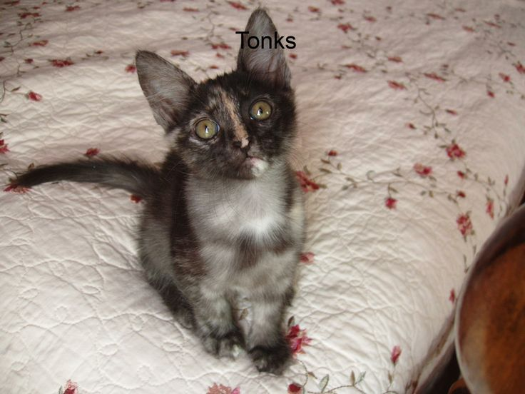 ea416812712e2c Sunbriar Turkish Angora Cats · 254 best images about ...Young Turks! the  endangered .