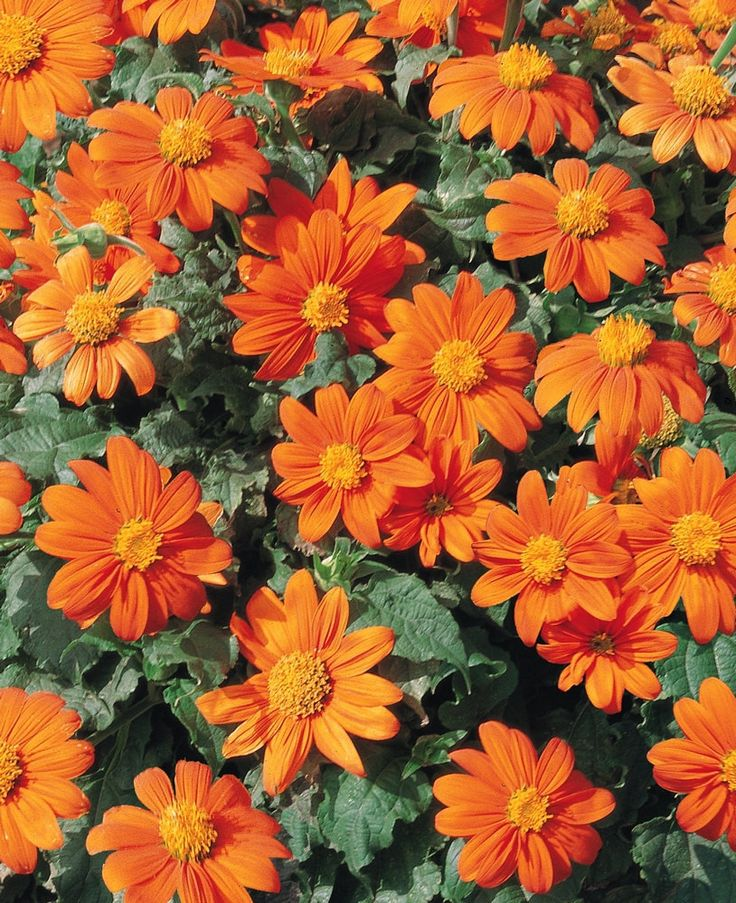 Mexican Sunflower (Tithonia rotundifolia) Heieloom Organic Seed 50/pk This plant is very easy to grow, and will attract lots of butterflies to your garden. Reaching six feet high and up to four feet w