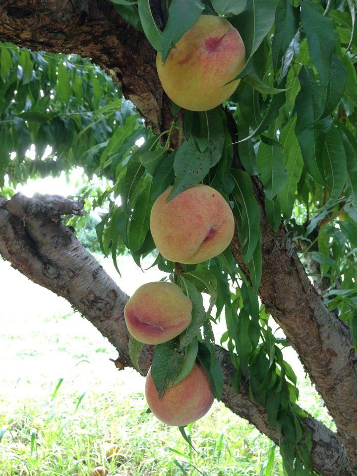 Davis Peach Farm in Wading River, NY