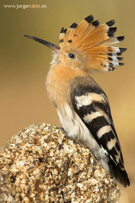 "Hoopoe  ~ photo by Jorge Rubio.....The hoopoe is a colourful bird found across Afro-Eurasia, notable for its distinctive ""crown"" of feathers."