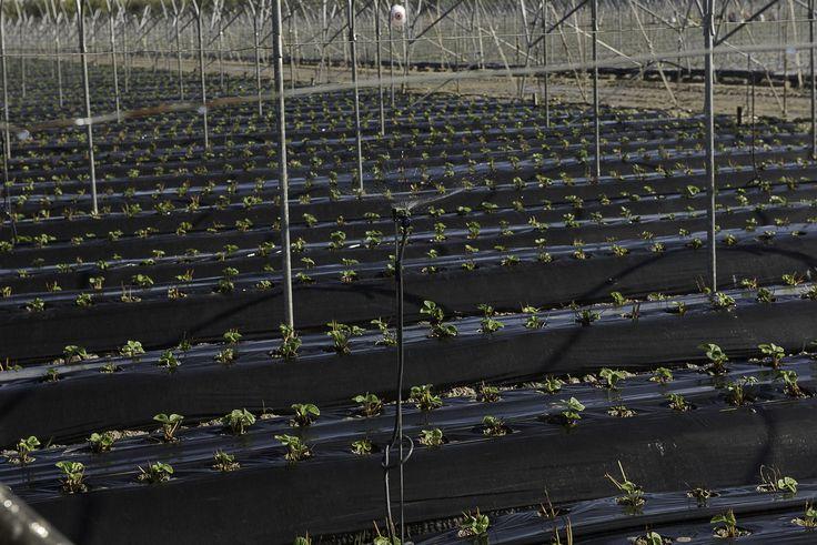 Tra gli ingredienti che rendono unica la nostra fragola, vi sono le caratteristiche dei terreni della #Basilicata e il suo clima mite, che consentono alle piantine di crescere in condizioni ottimali... regalandoci le migliori fragole sul mercato dal mese di gennaio!  #fragole #fragolebasilicata  #italia #italy #strawberry #fruit #freshfruit #cultivation #agriculture #farm #italy #southitaly