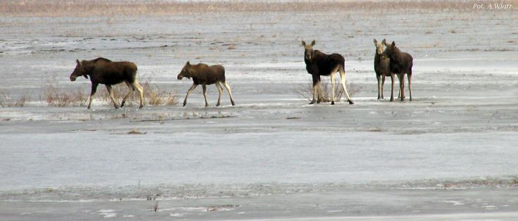 Elks in Biebrza National Park.