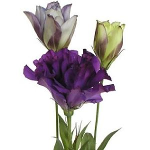 lisianthus purple flower. 100 stems for $169.99 or 200 stems for $219.99