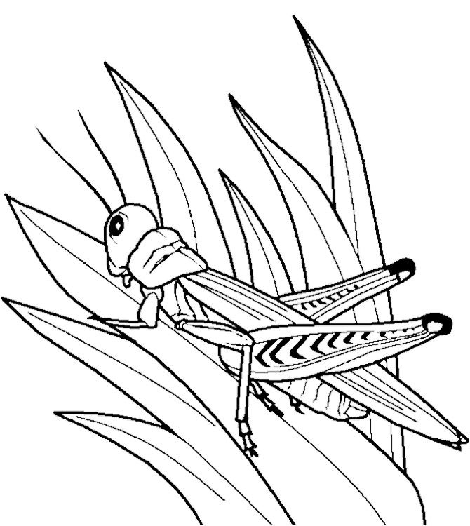 Grasshopper Insect Bug Coloring Pages