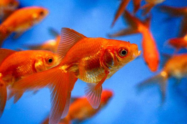 Les 25 meilleures id es de la cat gorie poisson rouge for Blue ridge fish hatchery