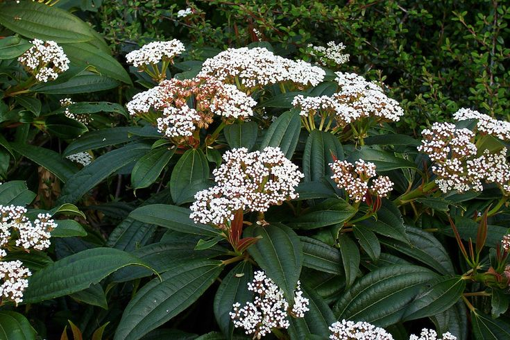 David viburnum is a showy evergreen shrub that displays attractive, glossy, bluegreen foliage year round with clusters of small white flowers in spring and metallic blue berries later in the season. If this has piqued your interest, click here for more information.