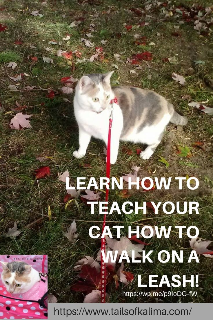 Teaching A Cat To Walk On A Leash Tails Of Kali Ma Therapy Cat Cat Training Cats