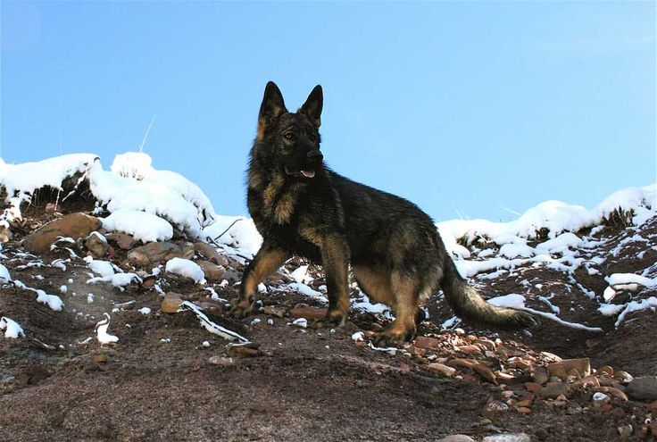 Adults On The Ranch - DDR German Shepherds :: East German Shepherd