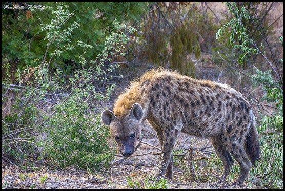 Spotted Hyena, Kruger Park, South Africa