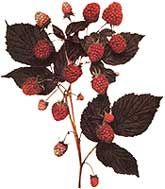 Both raspberry and sweet fern can be used for indigestion, as well as many other health concerns.