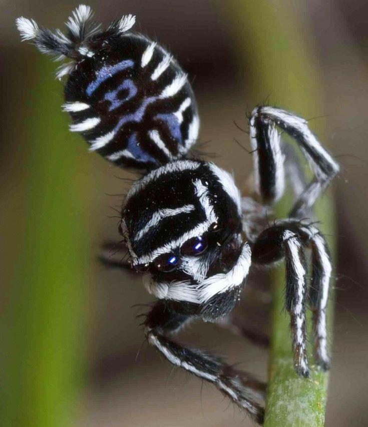 Découverte de deux nouvelles araignées paons - Sciencesetavenir.fr