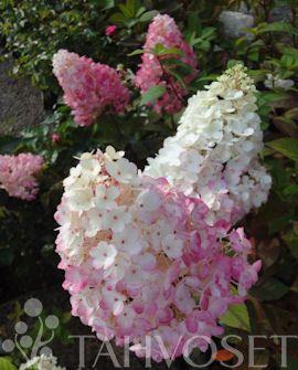 SUNDAE FRAISE® SYYSHORTENSIA | Matala ja tiiviskasvuinen syyshortensialajike. Näyttävät kartionmuotoiset kukinnot heinä-elokuussa. Uusi kukinta aluksi valkoinen, muuttuu vähitellen vaaleanpunaiseksi.