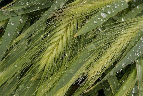 Gramíneas | Lafamilia de las gramíneas está compuesta por plantas que tienen tallos cilíndricos, comúnmente huecos, interrumpidos de trecho en trecho por nudos llenos, hojas alternas que nacen de estos nudos y abrazan el tallo, flores muy sencillas, dispuestas en espigaso en panojas, y grano seco cubierto por las escamas de la flor.  No se encuentran aquí relacionadas las gramíneas que crecen en el agua o en lugares muy húmedos (acuáticas), ni las comestibles, ni las…